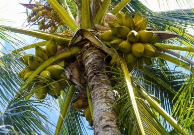 Revive the Coconut Agribusiness & Save Lives